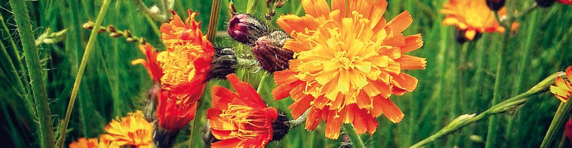 Blumenwiese-1920×500